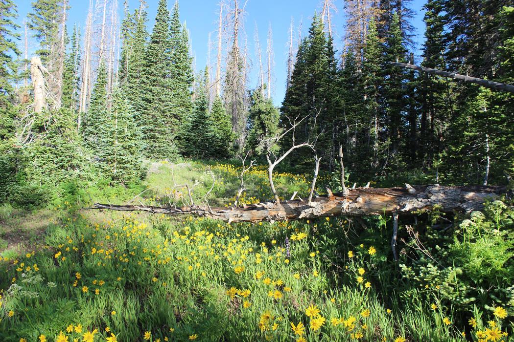 The annual Cedar Breaks Wildflower Festival takes place in July. (Deborah Wall/Las Vegas Review ...
