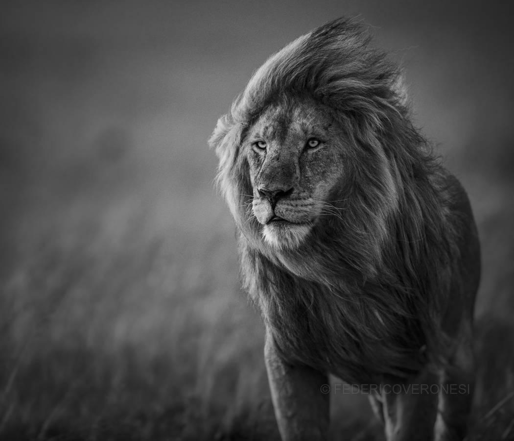 """Male Lion in Blowing Wind"" by Federico Veronesi"