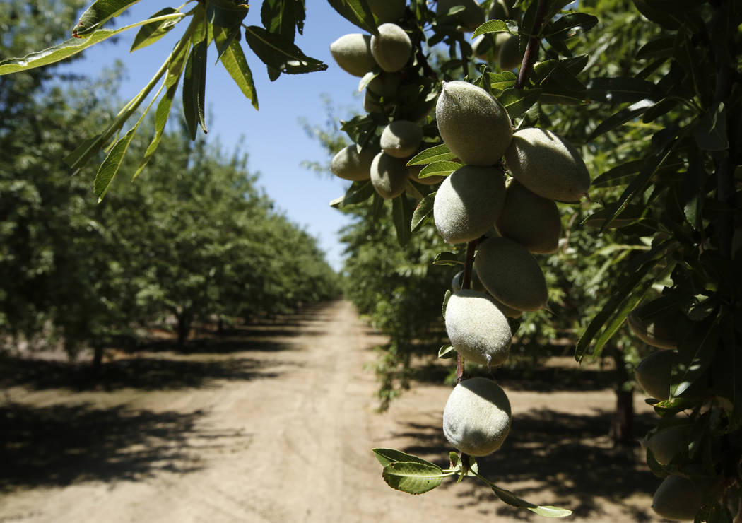 In this Friday June 21, 2019 photo, almonds hang on the branches of an almond tree in an orchar ...