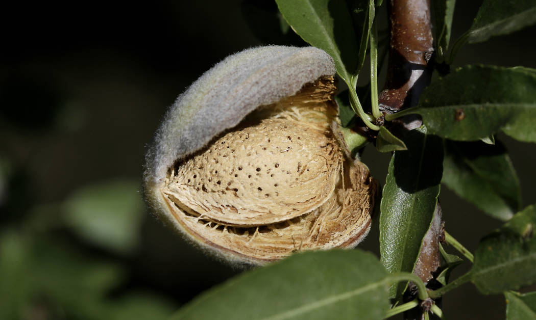 FILE - In this July 21, 2015, file photo, a nearly ready-to-harvest almond is seen in an orchar ...