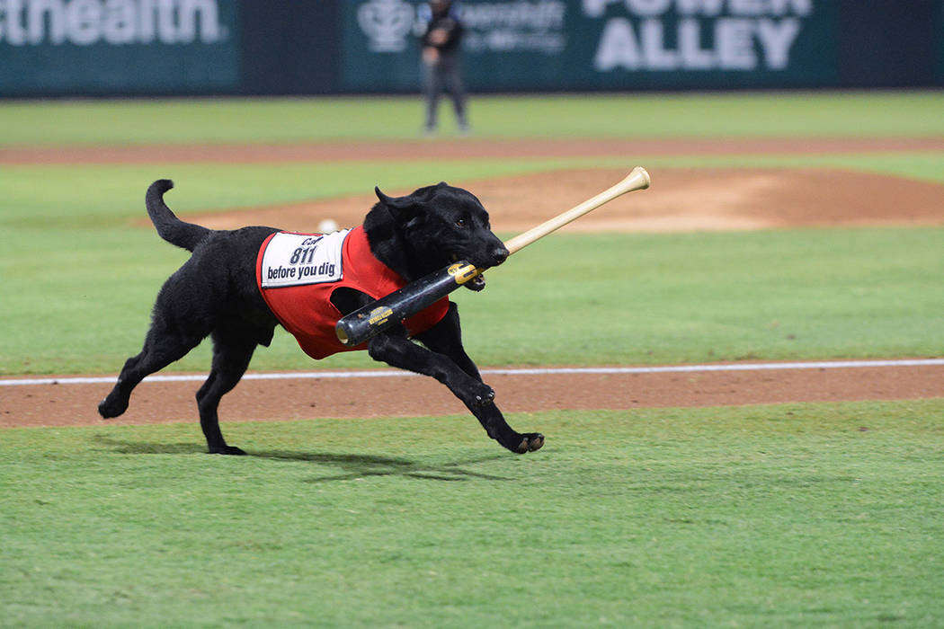 Fan favorite, Finn the Bat Dog, a black lab enthusiastically retrieves bats from the field. (Su ...