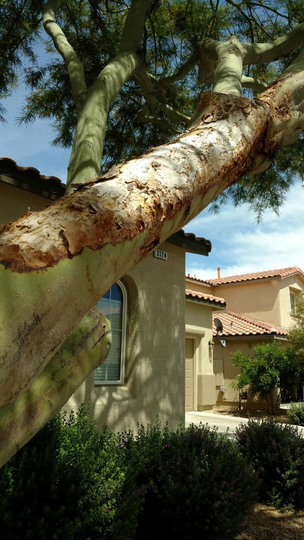 This palo verde branch shows signs of sunburn. (Bob Morris)