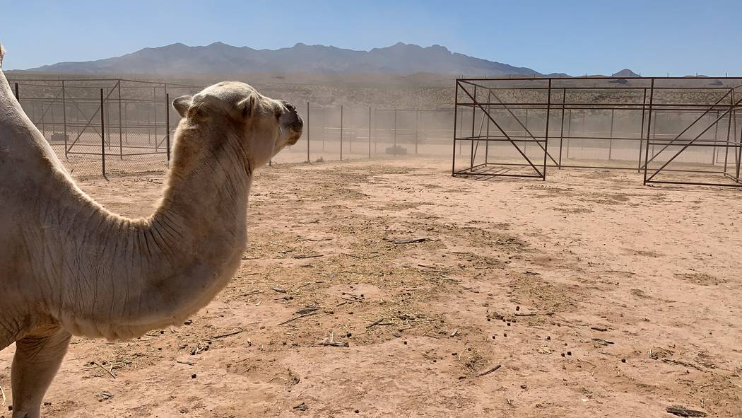 About an hour outside of Las Vegas, near Bunkerville, Nevada, you'll find the Camel Safari. ( ...