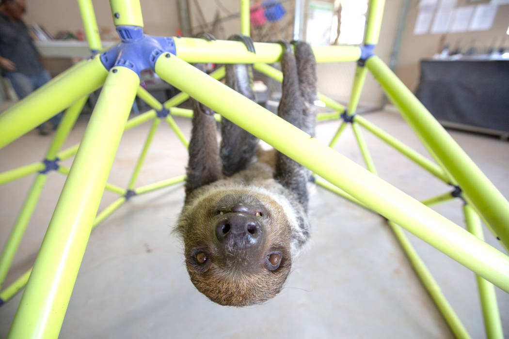 A sloth climbs in his jungle gym at Camel Safari on Monday, July 8, 2019 in Bunkerville. Camel ...