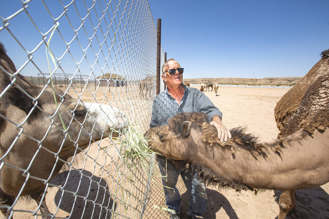 Guy Seeklus feeds his camels at the Camel Safari on Monday, July 8, 2019, in Bunkerville. Camel ...