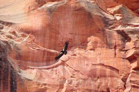 This April 8, 2019 photo provided by the National Parks Service shows a California condor in Zi ...