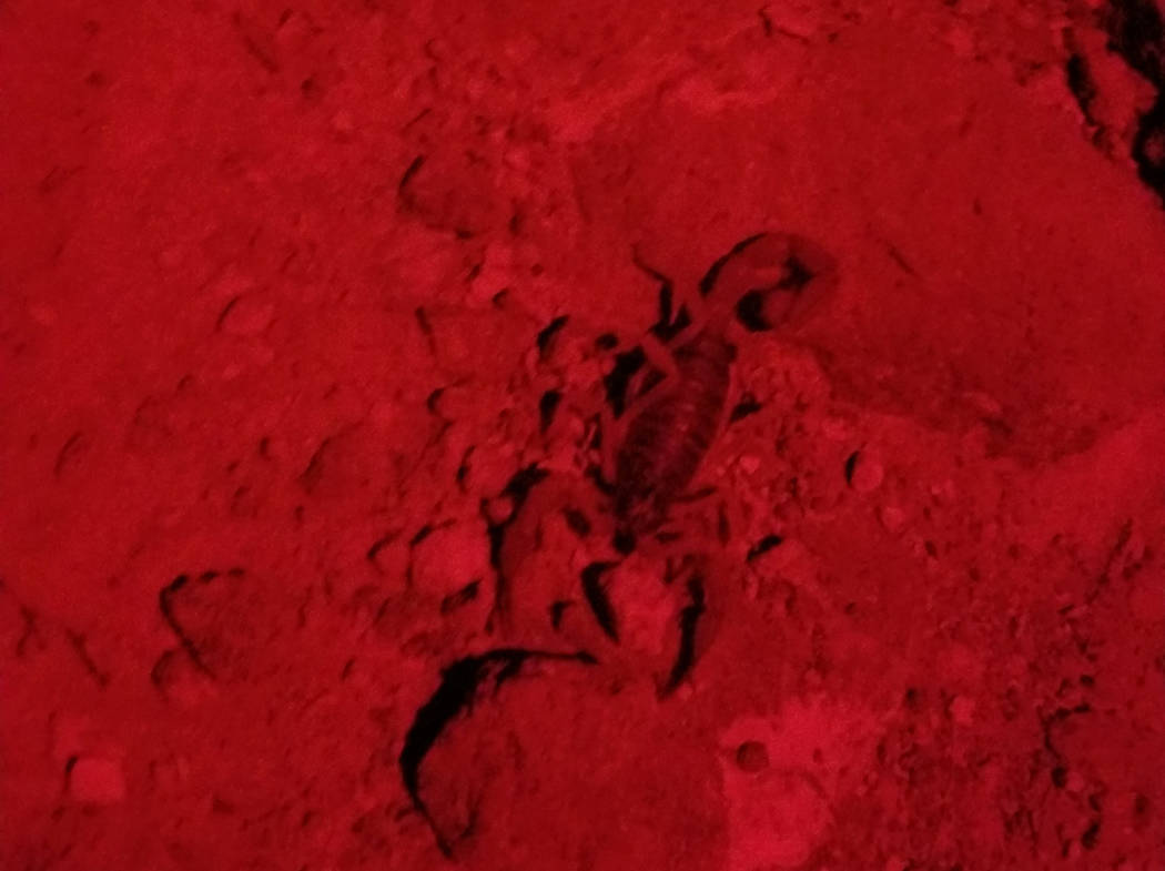 A five-inch desert hairy scorpion crossed the path on a summer night hike in Sloan Canyon Natio ...