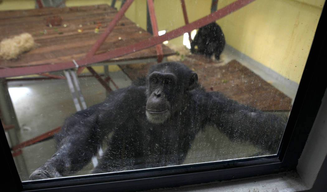 Koko, the chimpanzee looks out from the window of a special compartment at the Skopje zoo, in S ...