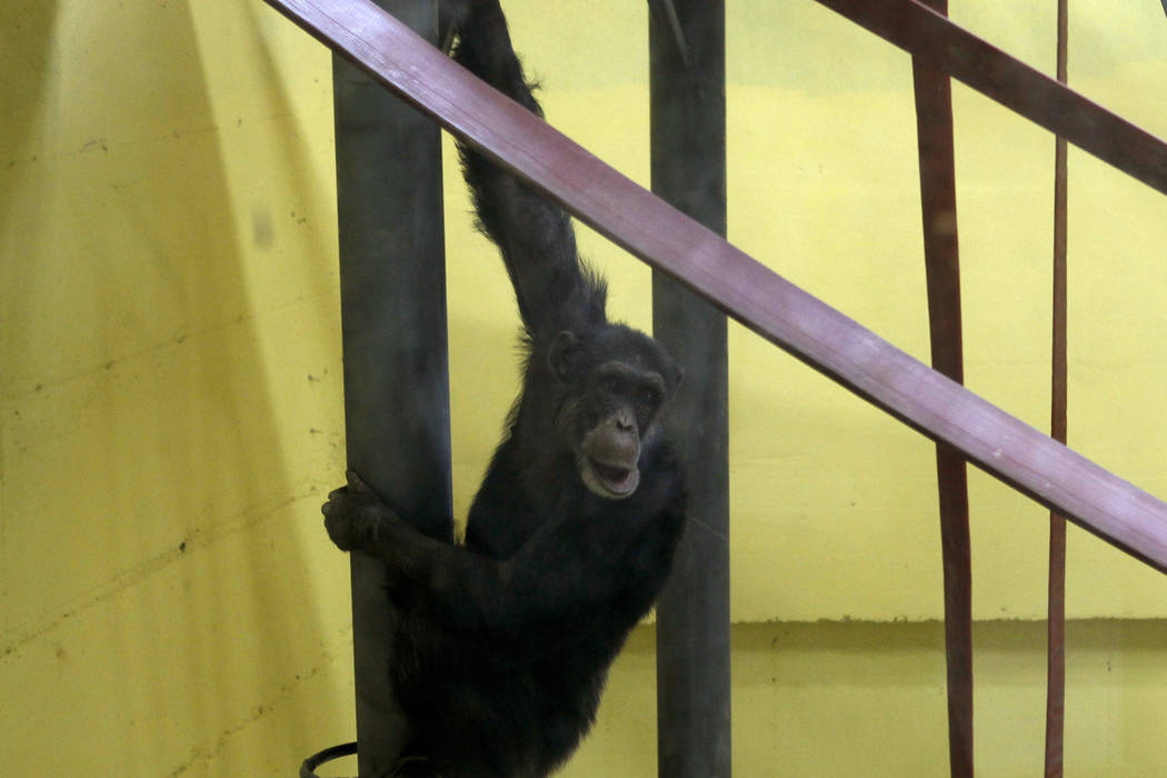 Koko, the chimpanzee hangs from a railing in a special compartment at the Skopje zoo, in Skopje ...
