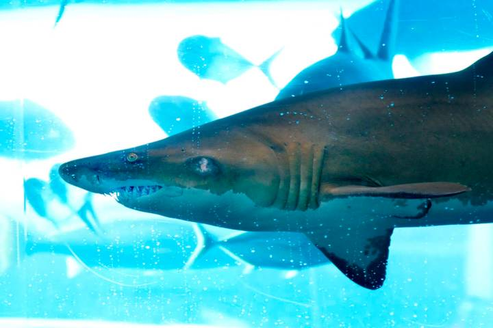 A shark is shown in The Tank, a 200,000 gallon shark tank with an enclosed water slide, in the ...