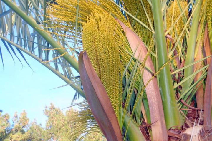 The Canary Island date palm is gender-specific. (Bob Morris)