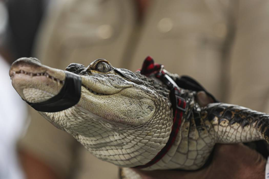 Florida alligator expert Frank Robb holds an alligator during a news conference, Tuesday, July ...