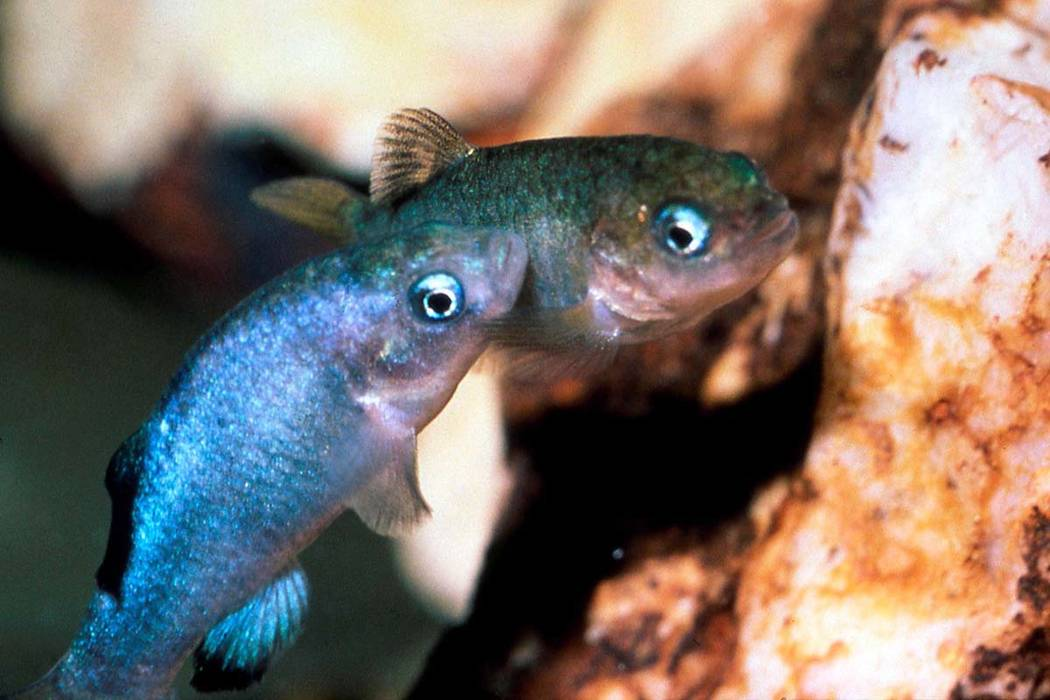 Two Devil's Hole pupfish are shown in a cave at Death Valley National Park in Nevada, northwest ...