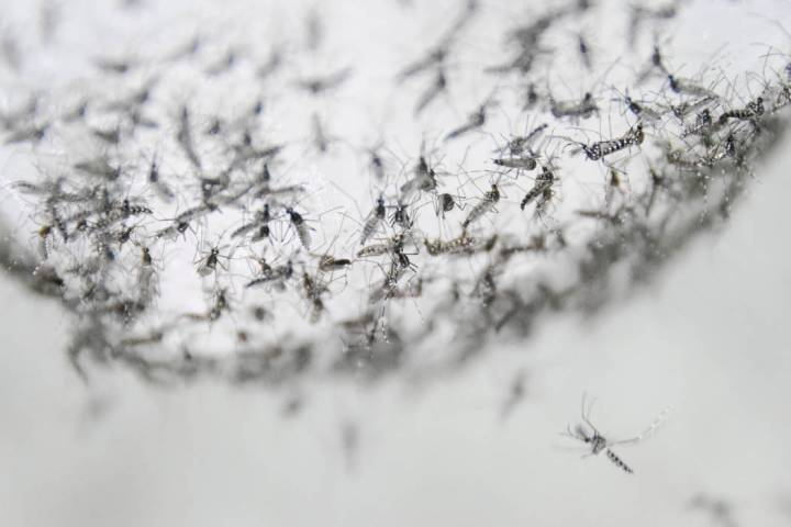 This July 13, 2019 photo provided by Guangzhou Wolbaki Biotech shows male Aedes albopictus mosq ...