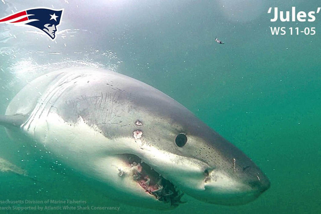 The Atlantic White Shark Conservancy named a shark after New England Patriots wide receiver Jul ...