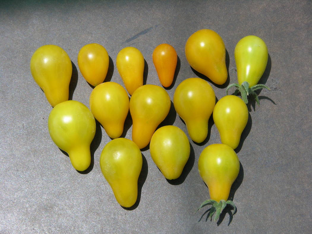 Yellow pear tomatoes are reliable, quickly produce fruit from flowers and can fill some gaps wh ...