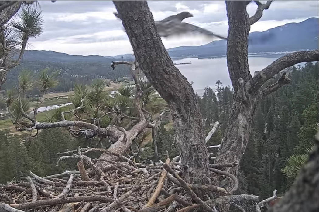 In this remote camera image by Friends of Big Bear Valley and Big Bear Eagle Nest Cam, released ...