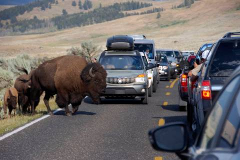 FILE - In this Aug. 3, 2016 file photo, a large bison blocks traffic in the Lamar Valley of Yel ...