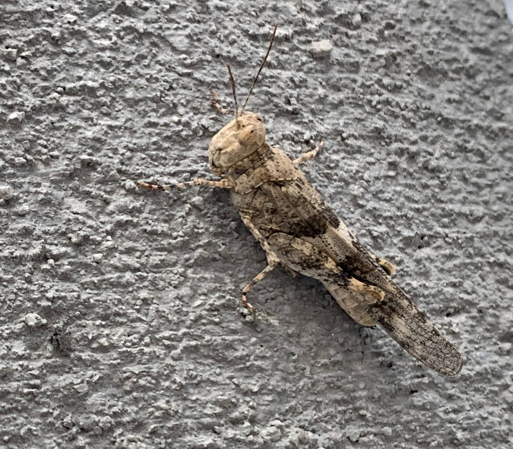 A Pallid-winged Grasshopper the Nevada Department of Agriculture Las Vegas offices Thursday, Ju ...