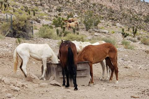 Wild horses gather around a trough at a dried-up spring in the Red Rock Herd Management Area. T ...