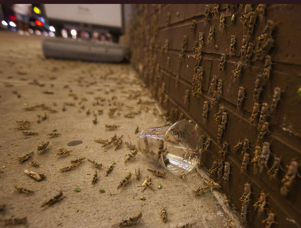 Grasshoppers outside the El Cortez on Sunday, July 28, 2019 in Las Vegas. (Michael Blackshire/L ...