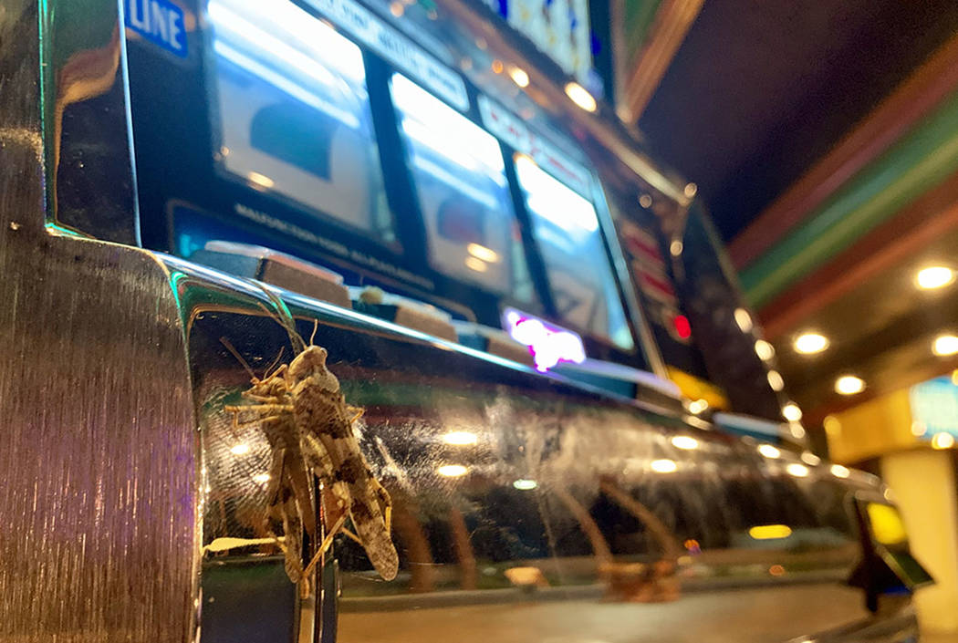 Grasshoppers try their luck gambling at Slots A Fun in Las Vegas on Sunday, July 28, 2019. (Dav ...