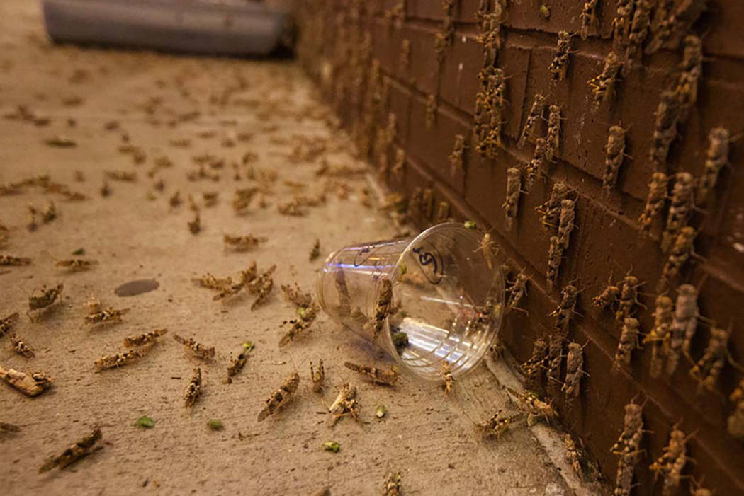Grasshoppers are seen outside the El Cortez on Sunday, July 28, 2019 in Las Vegas. (Michael Bla ...
