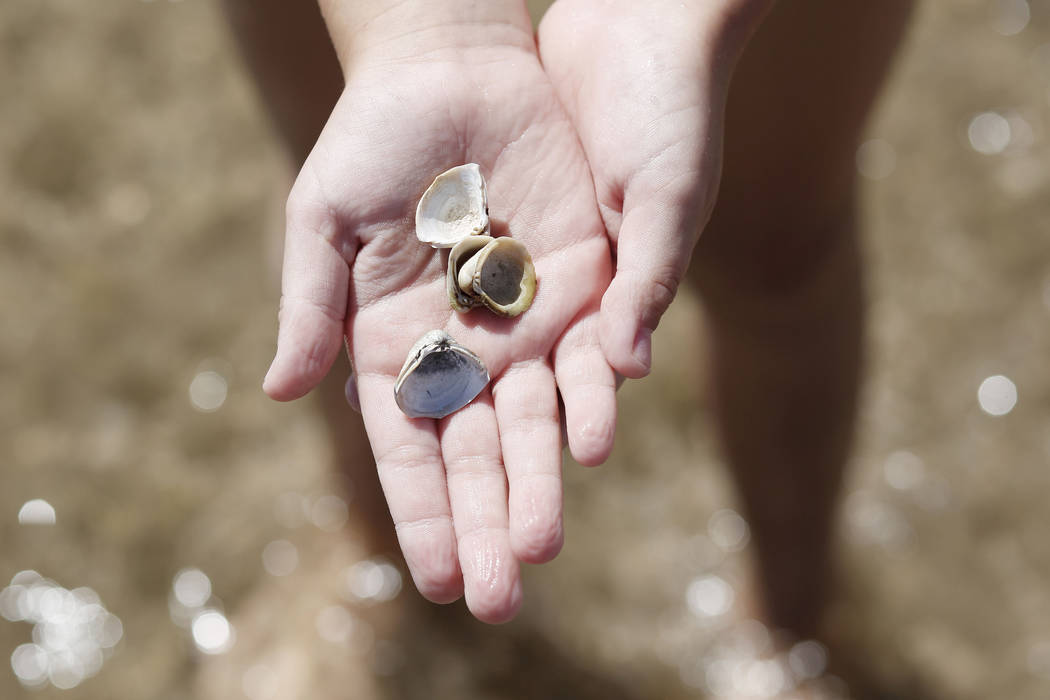 """Gemma """"Zo"""" Brown, 7, a Girl Scout from Pahrump shows off her found seashells at Boulder Beach a ..."""