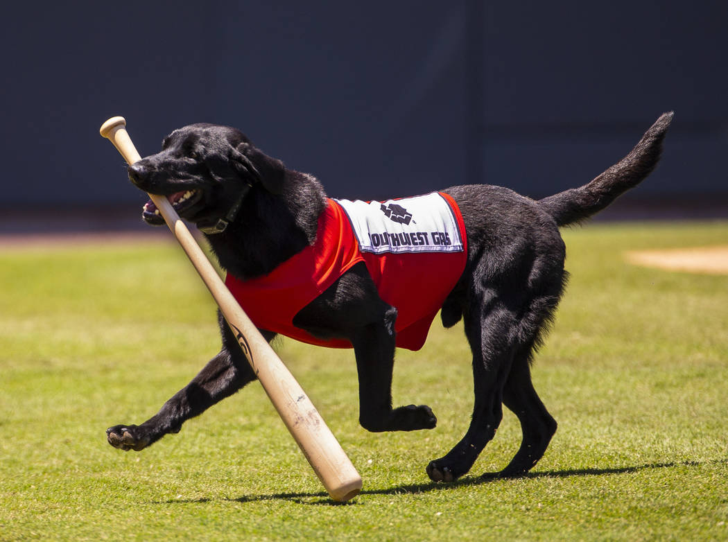 The Aviators bat dog Finn, a 5-year-old black lab, retrieves a bat during a game versus the Tac ...
