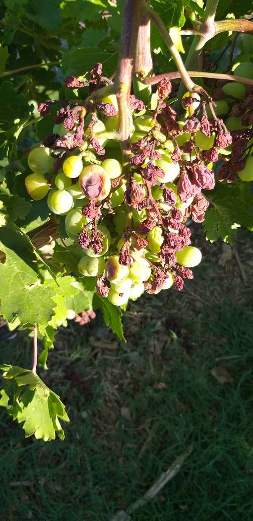 Spring rains caused diseases like bunch rot on grapes to occur when it has been rare here in th ...