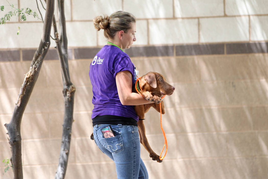 Nicole Bennett, licensed veterinary technician for the Animal Foundation, carries a dog during ...