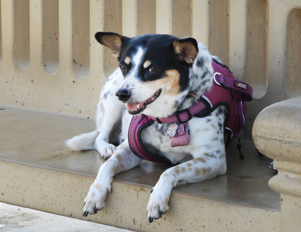Elsie at Kellogg-Zaher Sports Complex Dog Park on Monday, Aug. 26, 2019. (Mat Luschek/Las Vegas ...