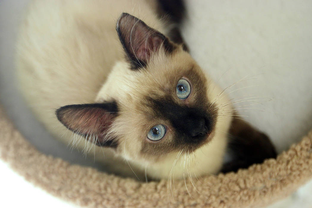Las Vegas welcomed Rescued Treasures – currently Nevada's only cat cafe – as they opened ...