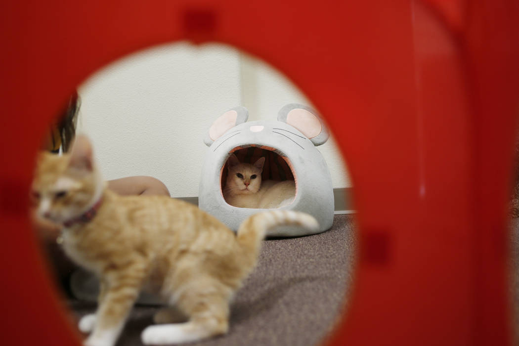 Adoptable kittens play at the Rescued Treasures Cat Cafe, Tuesday, Aug. 6, 2019, in Las Vegas. ...