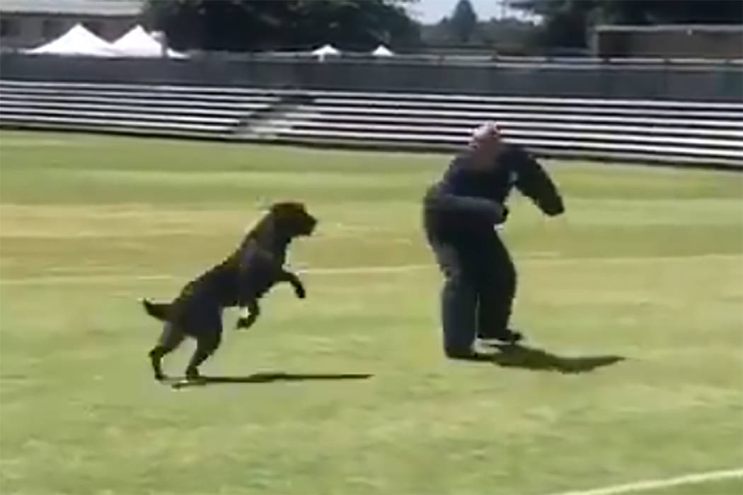 """Raider,"" a Metro police dog sponsored by the Raiders, put on a demonstration of his talent ..."
