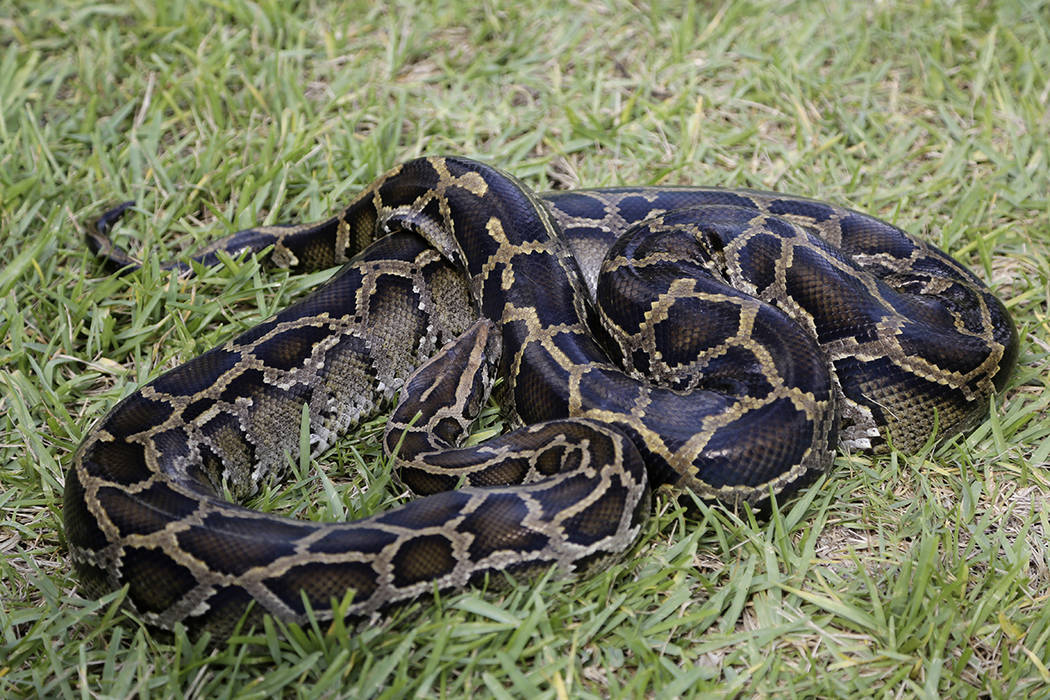 FILE - An invasive Burmese python moves through the grass during a demonstration by the Florida ...