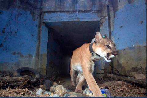 This May 22, 2018, photo provided by the U.S. National Park Service shows the mountain lion kno ...