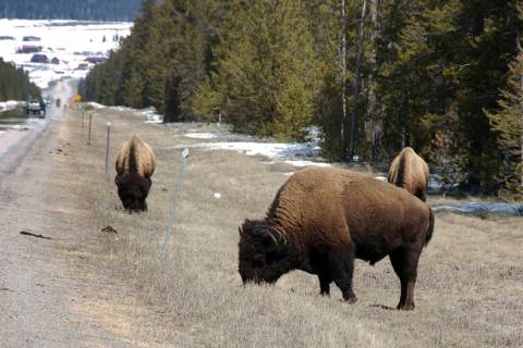 Bison graze along a state highway near West Yellowstone, Mont., in 2014. (AP Photo/Matthew Brown)