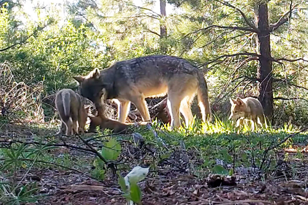 This June 18, 2019 photo shows an adult wolf and three pups in Lassen County in Northern Califo ...