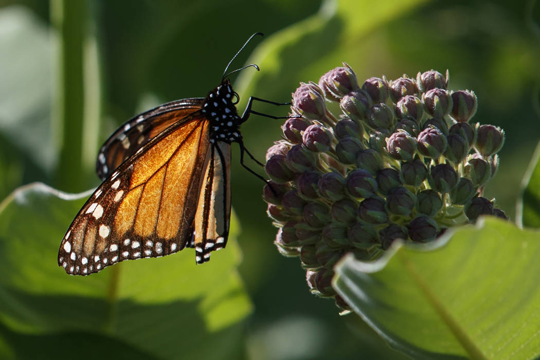 A monarch butterfly perches on milkweed at the Patuxent Wildlife Research Center in Laurel, Md. ...