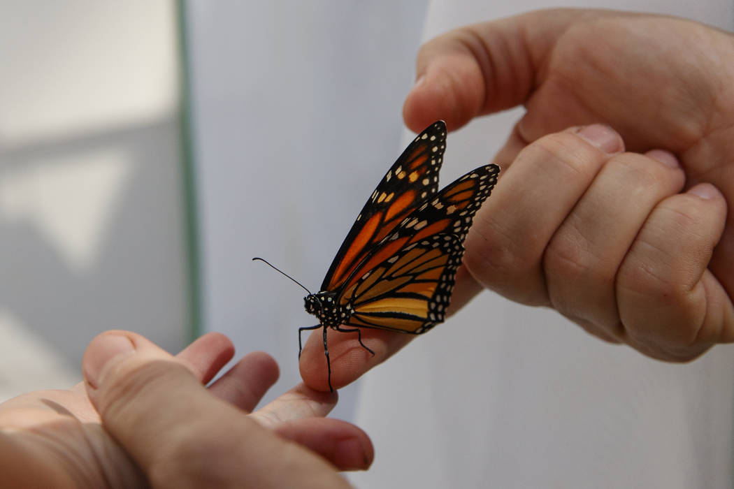 Laura Moore directs a fresh new monarch butterfly from her finger to her 3-year-old neighbor Th ...