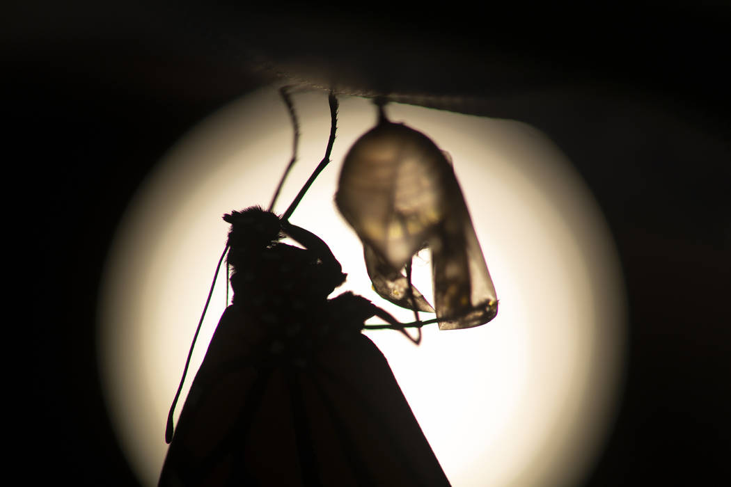 A monarch butterfly is silhouetted suspended near its empty chrysalis soon after emerging in Wa ...