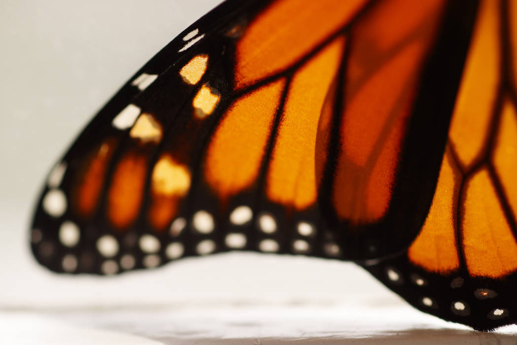 This photo shows a monarch butterfly wing soon after it emerged in Washington, Sunday, June 2, ...