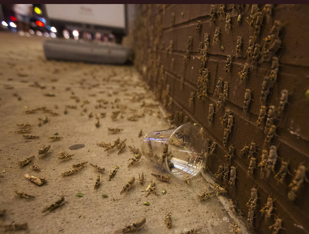 Grasshoppers outside the El Cortez in downtown Las Vegas on July 28, 2019. (Michael Blackshire/ ...