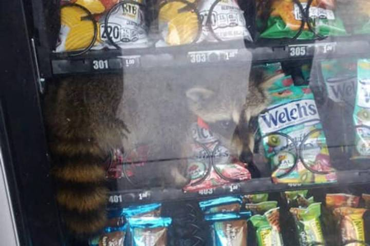 Police say a raccoon trapped in a vending machine at a Florida high school is now free. (Volusi ...