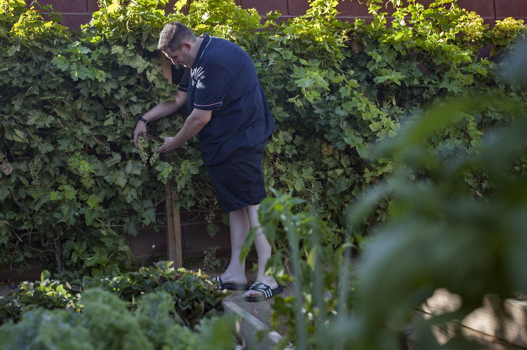 Matt Silverman, chef for HEXX Kitchen + Bar, pulls off grapes in his garden at his home in Las ...
