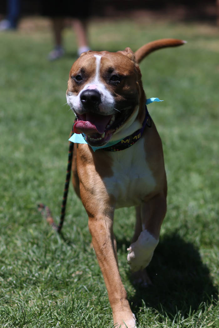 A dog for adoption plays in the grass during the Clear the Shelters event at the City of Hender ...