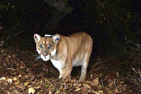 A November 2014, file photo provided by the U.S. National Park Service shows a mountain lion kn ...