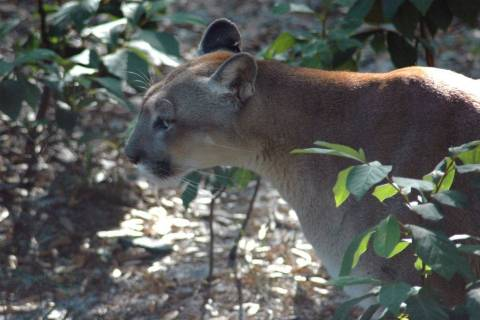 Florida wildlife officials are investigating a disorder that causes Florida panthers to have tr ...