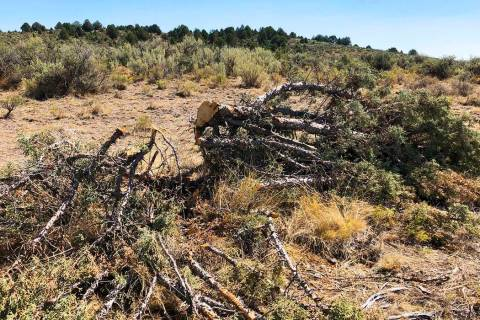 This Aug. 15, 2019 photo shows a juniper tree cut down as part of a giant project to remove jun ...